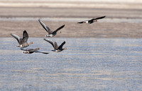 Greater White Fronted Geese in flight, Crowley Lake, CA
