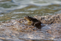 Mt-yellowlegged-frog_Mt-yellowlegged-frog_001