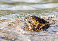 Mt-yellowlegged-frog_Mt-yellowlegged-frog_002
