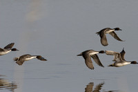 Bosque Pintails